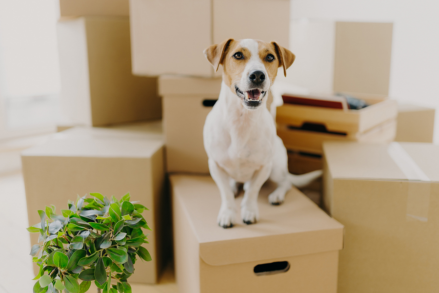 Funny Dog Sits On Carton Boxes, Green Indoor Plant Near, Relocat